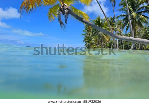 Bora Bora (French Polynesia): coconut tree on the lagoon of bora bora