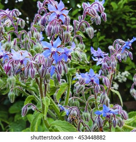 Borage plant / herb (Borago officinalis) in sunlight in full beautiful blue flowers, ideas for brightening up garden - square composition.