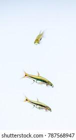 Boraras urophthalmoides, Exclamation-point rasbora, Least rasbora