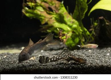 Boraras,Corydoras,Pterygoplichthys- three kinds of fish in the aquarium at the bottom.