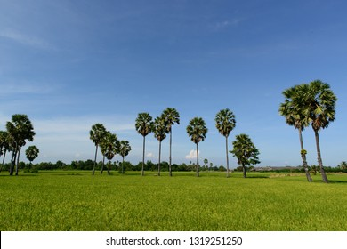 (Borassus flabellifer, doub, palmyra, tala , toddy , wine) palm are a row in the middle of the field. Phetchaburi, Thailand.