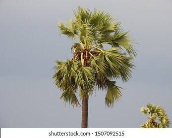 Borassus flabellifer (Palmyra palm) Tree with drk sky background. It is commonly known as doub, palmyra, tala, toddy or wine palm