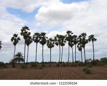 Borassus flabellifer (Palmyra palm) Trees in a row in agriculture field with sky clouds background. It is commonly known as doub, palmyra, tala, toddy or wine palm.