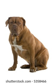 bordeaux dog, french mastiff sitting down and looking into the camera
