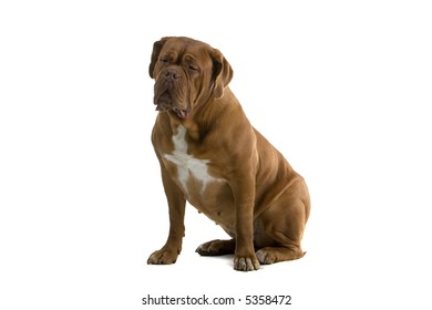 bordeaux dog, french mastiff sitting down and looking sidewards