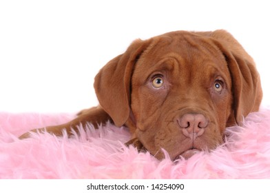 Bordeaux dog sleeping on soft blanket