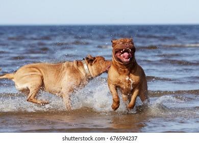 Bordeaux mastiff to the ocean