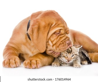 Bordeaux puppy dog kisses bengal kitten. isolated on white background