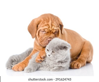 Bordeaux puppy embracing scottish cat. isolated on white background