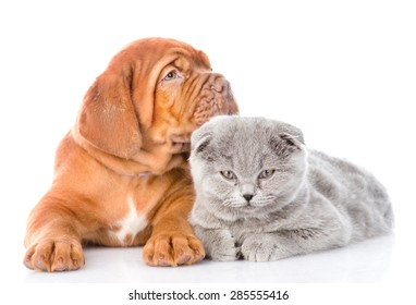 Bordeaux puppy lying with scottish cat. isolated on white background