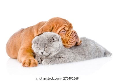 Bordeaux puppy lying with sleeping cat. isolated on white background