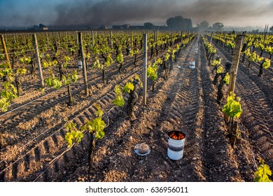 The Bordeaux vineyards affected by a devastating frost on Thursday, April 27, 2017, the last dating back to April 1991.Torshes are depolyzed in the wineyards to warm the atmosphere.
