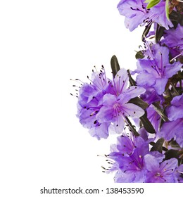 Border of Blooming Rhododendron (Azalea)  close-up isolated  on a white background