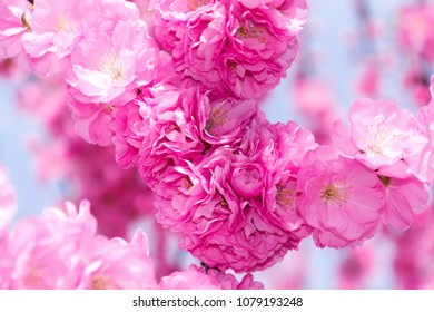 Border of blossoming pink sacura cherry tree branches in garden.
