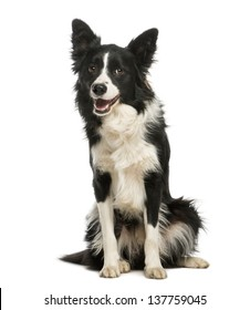 Border Collie, 1 year old, sitting and panting, isolated on white