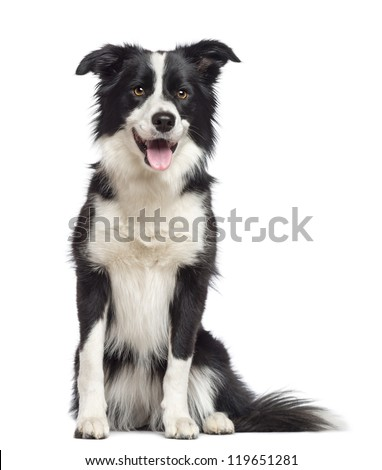 border collie 15 years old sitting の写真素材 今すぐ編集