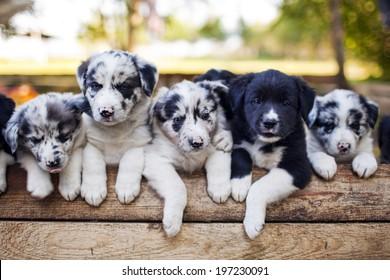 Litter Of Puppies Images Stock Photos Vectors Shutterstock
