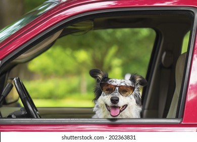 Border collie / Australian shepherd dog in car driver seat with sunglasses looking happy hot excited ready cute adorable