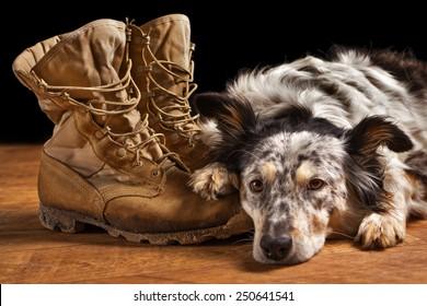 Border collie Australian shepherd dog lying on tan veteran military combat boots looking sad grief stricken in mourning depressed abandoned alone emotional bereaved worried feeling heartbreak