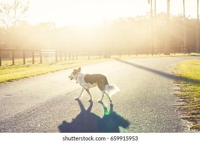 Border Collie / Australian Shepherd dog canine pet crossing road street alone in sunshine countryside rural setting looking adventurous lost hazardous dangerous precarious