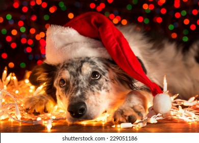 Border collie Australian shepherd mix dog lying down on white Christmas lights with colorful bokeh sparkling lights in background looking hopeful wishful believing celebratory concerned