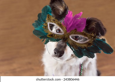 Border Collie Australian shepherd mix dog wearing feather mask masquerade costume bead necklace in observance celebration of carnival mardi gras looking at camera and ready to party have fun celebrate