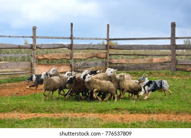 Border Collie with Australian Shepherd working as sheepdogs with flock of sheep in a meadow