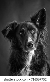 Border Collie in black and white