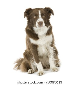 Border Collie Breed (2 years) in front of a white background