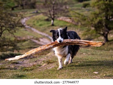 A Border Collie carrying a large stick