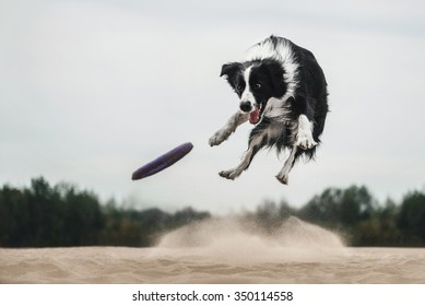 Border Collie catches the disc frisbee in the air against the sky