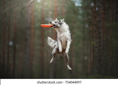Border collie catches the disc. Sports with a dog outside