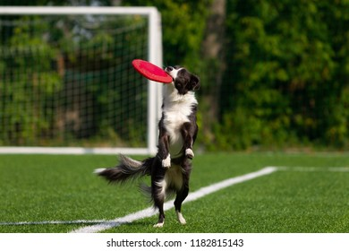 Border collie catches the disc. Summer day. Natural light.