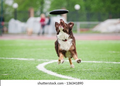 border collie catching disc in jump in competitions