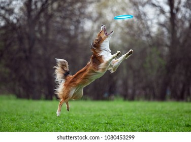 border collie catching the disk on dog frisby