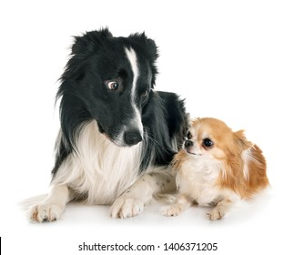 border collie and chihuahua in front of white background