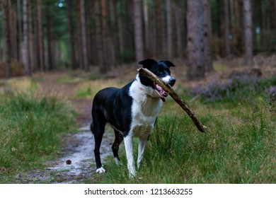 A border collie cross Labrador working dog carrying a stick on an evening walk in Rendlesham Forest, Suffolk