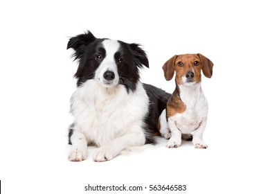 border collie and a dachshund piebald in front of a white background
