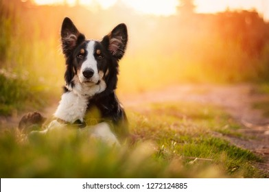 A border collie dog