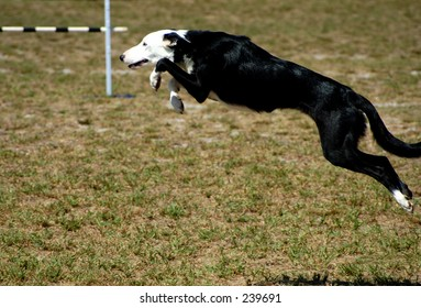 A Border collie at a dog agility trial