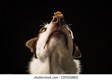 Border Collie dog balancing treats on it's nose with a black background