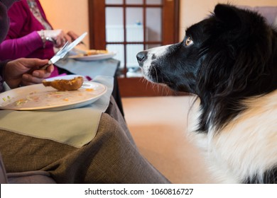 Border Collie dog begging for food