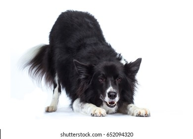 Border Collie dog bows sideways with rear buttocks and laughs