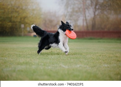 Border collie dog catches a flying disc