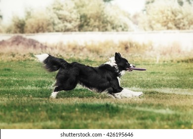 Border collie dog catching flying disc - Shutterstock ID 426195646