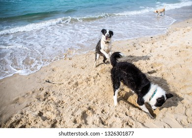 border collie dog digging a hole at baech