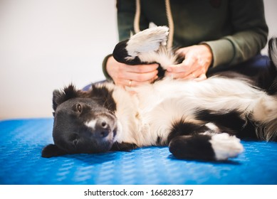 Border collie dog during a massage done by a pet physical therapist and during and exam