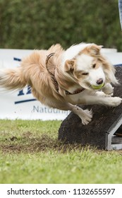 border collie dog in flyball contest in belgium