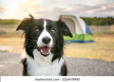 A Border Collie dog in front of a camping tent at Assateague Island National Seashore, Maryland