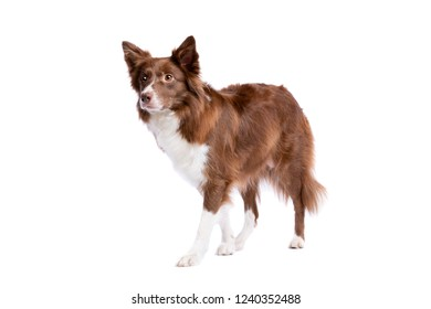 border collie dog in front of a white background